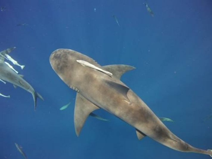 Photos of the Month - June 2021 Bull Shark in FL courtesy of Brian K.