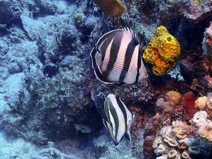Photos of the Month - June 2021 Banded Butterflyfish in the Bahama courtesy of Jeff c.
