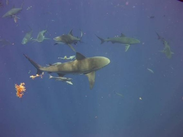 Photos of the Month - June 2021 Bull Sharks in FL courtesy of Brian K.