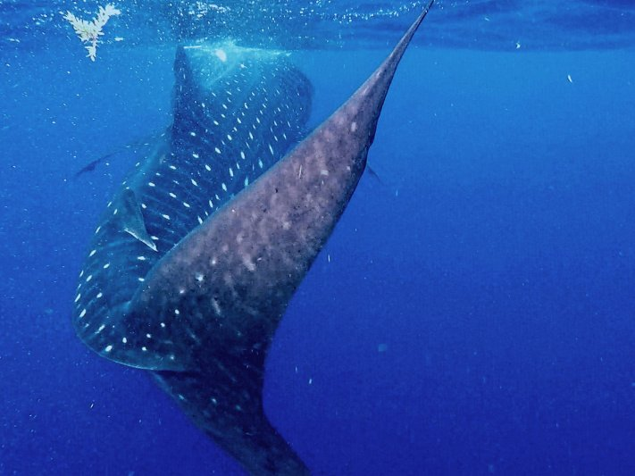Photos of the Month - June 2021 Whale Shark courtesy of Richard M.