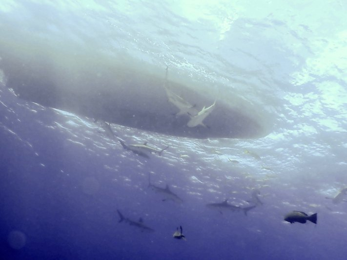 Photos of the Month - June 2021 Eleven- count 'em reef sharks under Stuart Cove's boat courtesy of Jeff C.