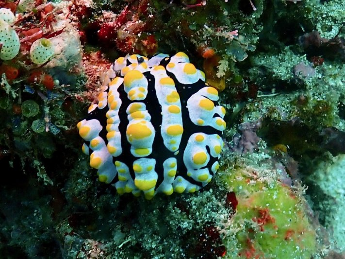 Photos of the Month - July 2021 Nudibranch in the Philippines - courtesy of Jeff C