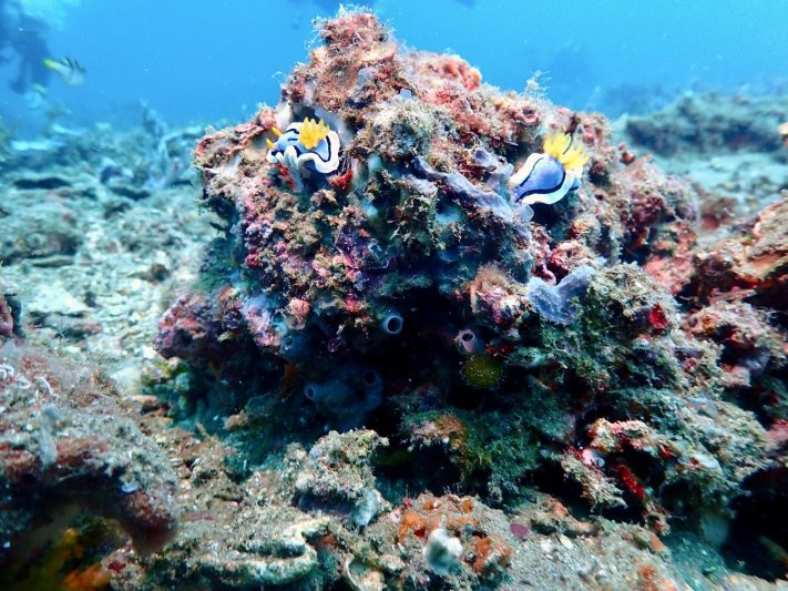 Photos of the Month - July 2021 Nudibranch's in the Philippines - courtesy of Jeff C