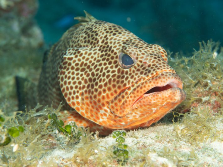 Photos of the Month - July 2021 Red Spot Grouper - courtesy of Joel T